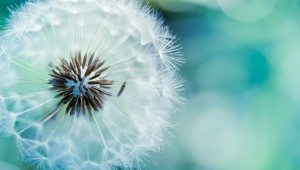 Dandelion-Flower-HD